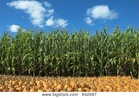 corn and pumpkin field