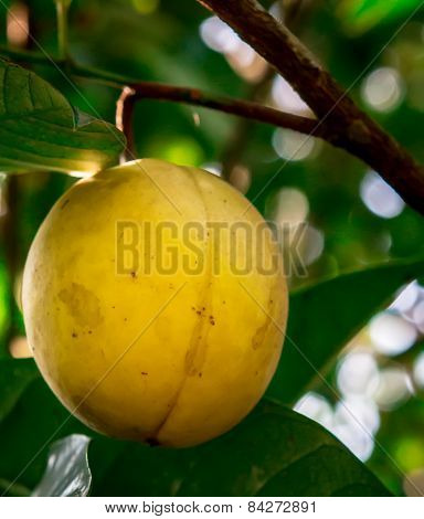 Ripening nutmeg fruit in its tree