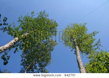 Treetops against bright blue sky.