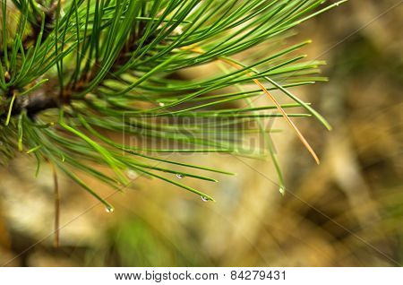 Close up of a fir branches with water droplets