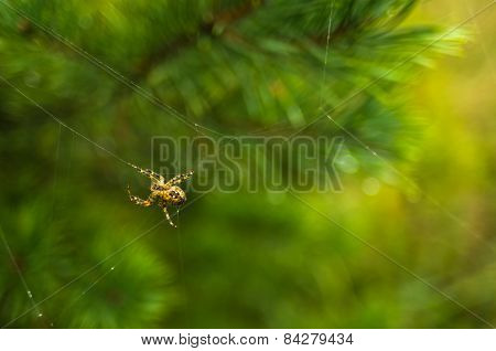 Yellow spider weaving the web in a forest