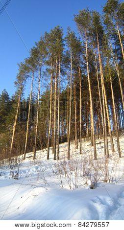 Pine copse
