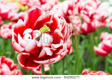 One bicolor red white tulip in front of tulips field