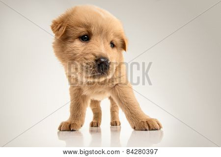 Fluffy Chow-chow Puppy