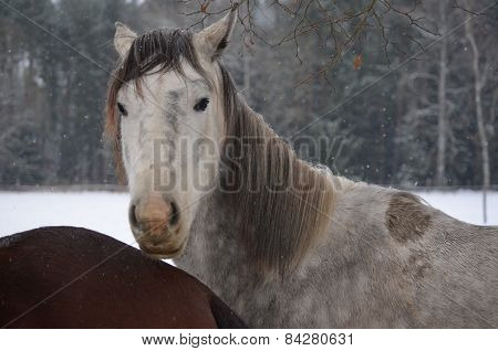 Horses On A Snowy Pasture