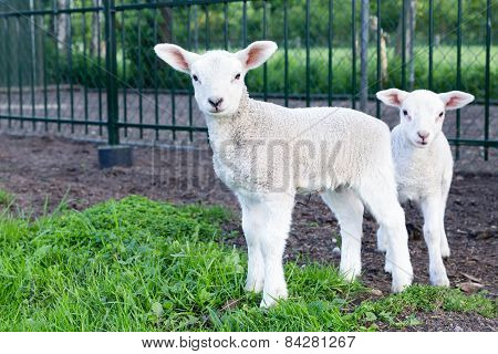Two little white lambs standing in green grass