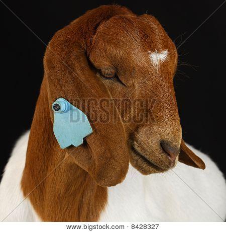Meat Goat