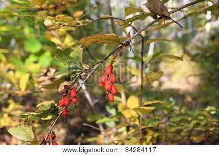 Barberry Berries In Autumn Wood