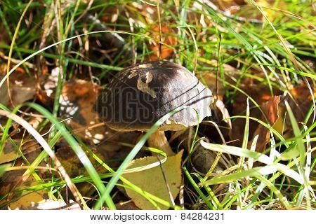 Mushroom A Birch Mushroom