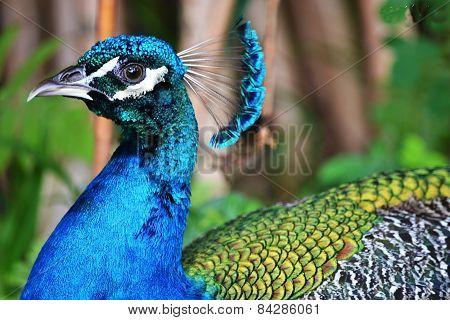 Brazilian peacock
