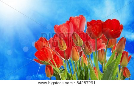 Beautiful Garden Fresh Colorful Tulips On Abstract  Background Spring Nature