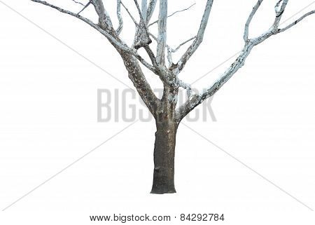 isolated white birch tree in winter
