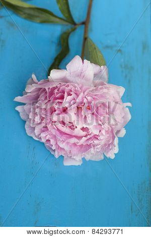 Pink Peony On Blue Wooden Background