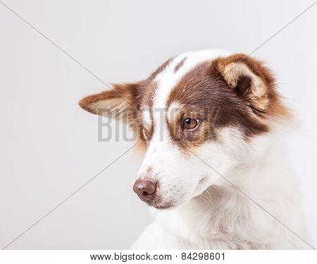 Dog Portrait On White Background