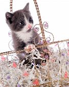 stock photo of prissy  - An adorable young kitten in a jeweled basket made of gold wire - JPG
