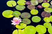 picture of lillies  - Beautiul pink and yellow lilly on green lilly pads in dark blue water - JPG