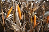 stock photo of zea  - Preparation of a corn field to harvest - JPG
