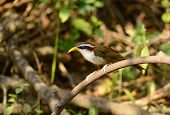 picture of babbler  - beatiful White - JPG