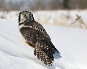 picture of snow owl  - Portrait of a Northern Hawk Owl - JPG