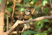 pic of greater  - beautiful Greater Necklaced laughingthrush  - JPG