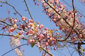 pic of cassia  - Pink Cassia Pink Shower on their branch - JPG