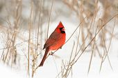 picture of cardinal  - Male northern cardinal perched on a branch following a winter storm - JPG