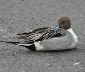stock photo of pintail  - Northern Pintail lying on a snowless section of parking lot next to frozen over pond.