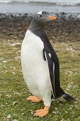 image of falklands  - Gentoo Penguin  - JPG