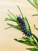 image of spiky plants  - Rosemary  - JPG
