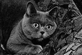 picture of portrait british shorthair cat  - Portrait of grey british cat close up - JPG