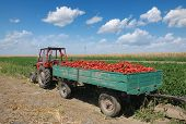 pic of tractor-trailer  - Agriculture heap of red paprika after harvest at tractor trailer in field - JPG