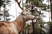 stock photo of jousting  - Majestic powerful adult male red deer stag in autumn fall forest - JPG