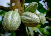 picture of bean-pod  - Cocoa Cacao unripe green pods on tree branch - JPG