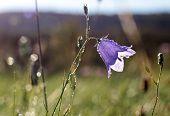 pic of harebell  - Bell flower  - JPG