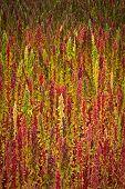 stock photo of quinoa  - Quinoa plantations in Chimborazo - JPG