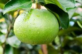 stock photo of pomelo  - Pomelo fruit tree in the garden Vietnam.