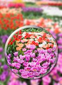Постер, плакат: Glass sphere with various tulips in flowers field