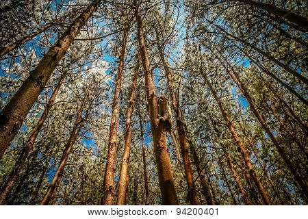 Monkey in a pine forest