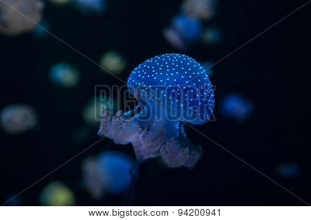 Small Jelly Fish