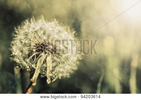 Vintage dandelion on a green background