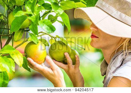 Farmer Checking Grapefruit