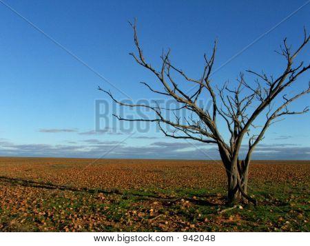 Dead Tree On Gibber Plain