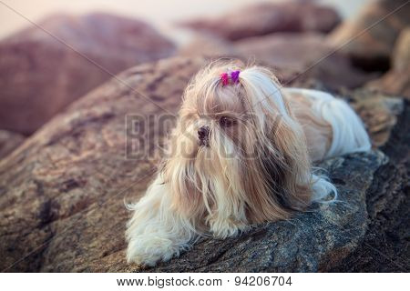 Shih-tzu dog lying on stones. Soft sunset light.