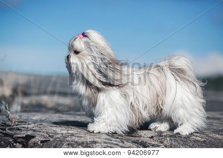 Shih-tzu dog standing on stones. Bright white colors.
