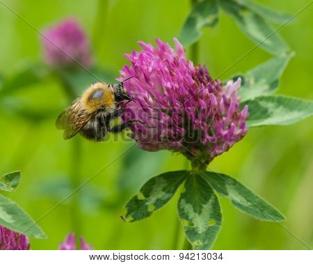 Bee At Red Clover Flower Macro