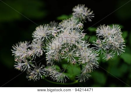 Columbine Meadow-rue, Thalictrum Aquilegifolium In Rainy Dark Forest Macro