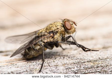 Golden Muscidae House Fly