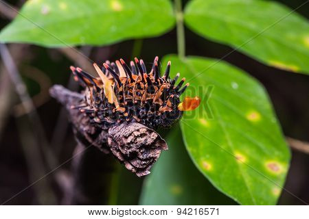 Golden Birdwing Butterfly Caterpillar