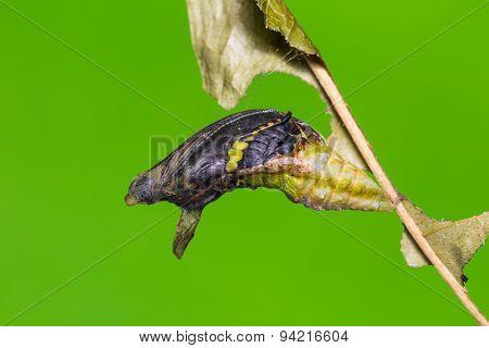 Mature Banded Swallowtail Pupa