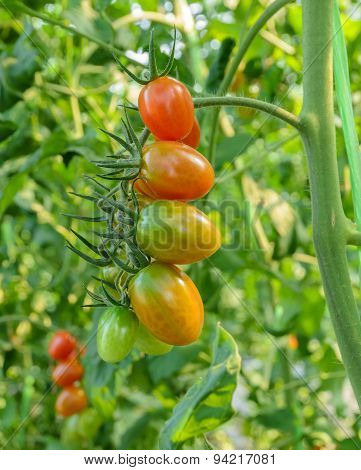 A Cluster Of Tomatoes
